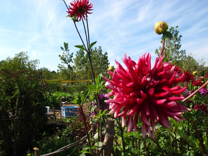 Michigan Community Resources helps east side residents re-purpose vacant lots into flower farms with blight busting blooms