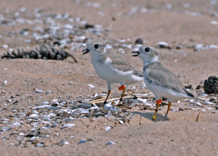 New beer from Griffin Claw will help save endangered Great Lakes piping plover